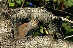 Grey Squirrel in Hugh Taylor Birch State Park.JPG