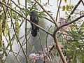 Grey bellied cuckoo-from kattampally - 2.jpg