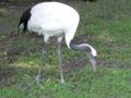 Grus japonesis zoo.JPG