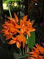Guarianthe aurantiaca2.jpg