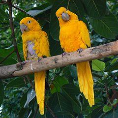 Golden Conures