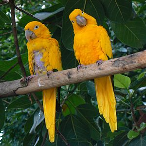 Feather-plucking - Captive parrots, such as the golden parakeet, are particularly prone to the problem.