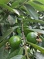 Guava Fruit.jpg