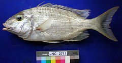 Gymnocranius grandoculis JNC2711 blue background.JPG