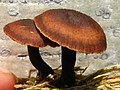 Gymnopus brassicolens (Romagn.) Antonín & Noordel 528090.jpg