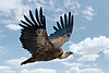Gyps fulvus in flight.jpg