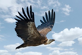 Gyps fulvus in flight.jpg