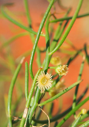Gyrostemonaceae - Gyrostemon ramulosis flowers.jpg