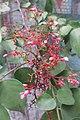 HK 上環 Sheung Wan 水坑口街 Possession Street Footbridge green plants n flowers pink red 楊桃 Averrhoa carambola Sept 2017 IX1 02.jpg