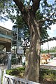 HK CWB 高士威道 Causeway Bay Road 維多利亞公園 Victoria Park tree Sept 2017 IX1 40.jpg