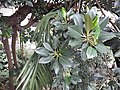 HK ML 香港半山區 Mid-levels 上亞厘畢道 Upper Albert Road flora green leaves April 2020 SS2 06.jpg