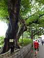 HK TST Nathan Road green Sidewalk Chinese Banyan trees Aug-2015 DSC (2).JPG