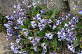 Haberlea rhodopensis - Kew Gardens.jpg