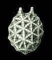 Haeckel Amphoridea-3.jpg