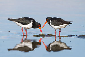 Pied oystercatcher - A pair of adult pied oystercatchers in Tasmania, Australia. The one on the left is flicking a small mussel into its mouth.