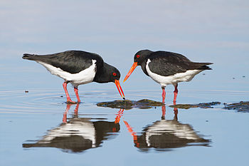 Pied Oystercatchers, Austin's Ferry, Hobart, T...