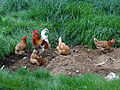 Hahn mit Hennen in der Oberlausitz.JPG