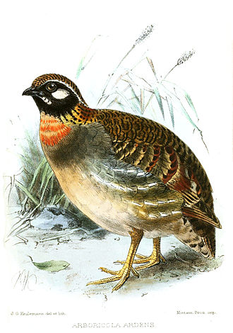 Hainan partridge - Image: Hainan Partridge