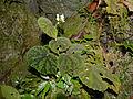 Hairy Begonia (Begonia conipila) (15496870345).jpg