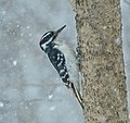 Hairy woodpecker m To ON snow.jpg