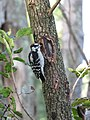 Hairy woodpecker of Huntley Meadows 2016.jpg