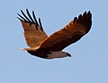 Haliastur indus -Karratha, Pilbara, Western Australia, Australia -flying-8 (13).jpg