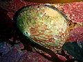 Haliotis rubra P2153822.JPG