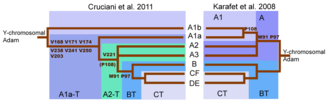 Haplogroup BT - The revised y-chromosome family tree by Cruciani et al. (2011) compared with the family tree from Karafet et al. (2008).  Cruciani et al. (2011) define BT via M91 and P97, and as a consequence, ISOGG has listed BT since February 2012, and treated M91 as defining mutation for BT since 2014.