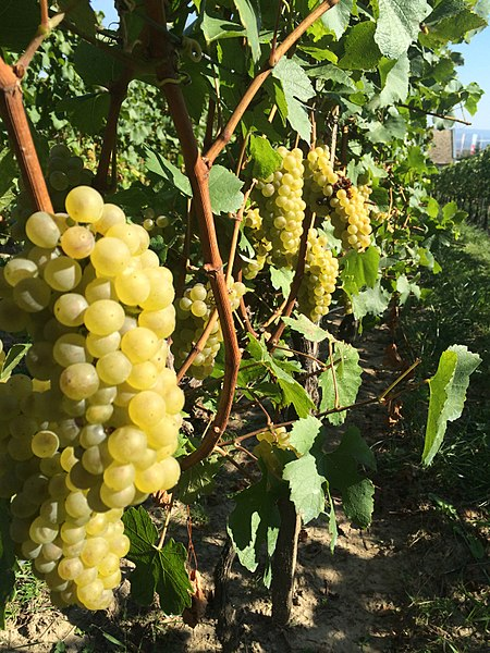Sauvignon blanc grapes by Cserfranciska. Uploading to Wikimedia Commons under CC-BY-SA-4.0