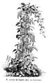 Haricot cerise du Japon Vilmorin-Andrieux 1904.png