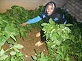 Harvesting amaranth plant.jpg