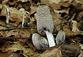 Hasenpfote Coprinopsis lagopus.jpg