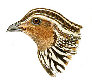 Stubble quail - Drawing of the head of a stubble quail