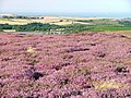 Heather in Full Bloom, Stanghow Moor - geograph.org.uk - 40064.jpg