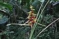 Heliconia impudica (Heliconiaceae) (29856106073).jpg
