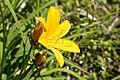 Hemerocallis middendorffii (Hemerocallidaceae) (36162216775).jpg