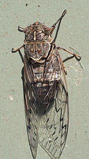 <i>Henicopsaltria eydouxii</i> species of insect