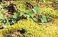 Hepatica nobilis in La Jaysinia.jpg