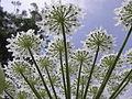 Heracleum mantegazzianum .R.H. 13.jpg