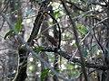 Hermit Thrush (8416895435).jpg