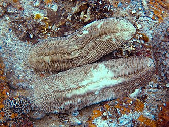 Fungiidae - Image: Herpolitha limax