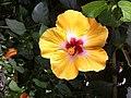 Hibiscus (flower).jpg