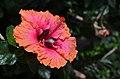 Hibiscus rosa-sinensis 'Erin Rachael' Flower.JPG