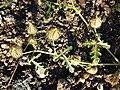 Hibiscus trionum sl52.jpg