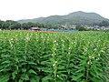 Hidaka Kinchakuda Sesame Field 1.JPG