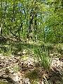 Hierochloe australis sl56.jpg