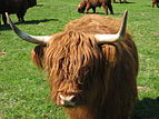 Highland Cattle 8.jpg