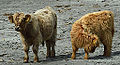 Highland cattle calfs (9467873662).jpg