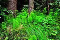 Himmelberg Tiebelquellen Wald-Schachtelhalm 28062009 99.jpg