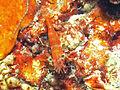 Hinge-beak Shrimp, Bunaken Island.jpg